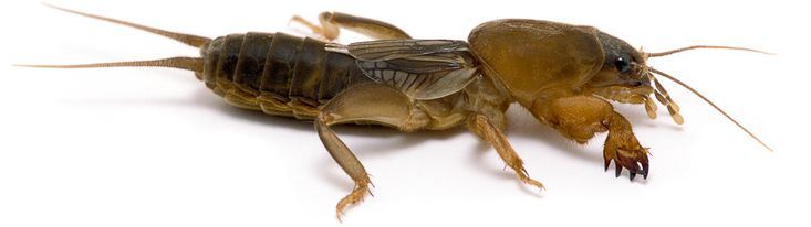Northern Mole Cricket | Songs of Insects