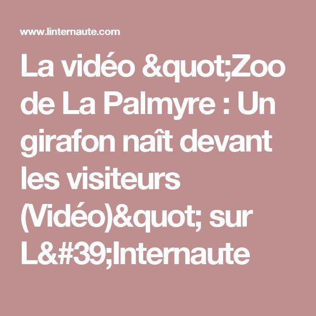 """La vidéo """"Zoo de La Palmyre : Un girafon naît devant les visiteurs (Vidéo)"""" sur L'Internaute"""