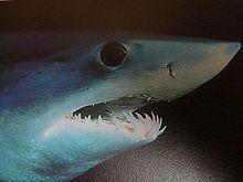 Shortfin mako shark - Wikipedia, the free encyclopedia