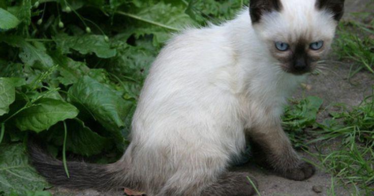Problemas oculares em gatos siameses. Uma das características mais marcantes de um gato siamês são os seus belos olhos azuis. Para que um siamês seja registrado e exibido como tal, ele deve ter olhos azuis. Eventualmente, um filhote dessa espécie nasce com outra coloração nos olhos. Nesse caso, o gato não poderá ser exibido em eventos ou registrado. Infelizmente, os siameses têm ...