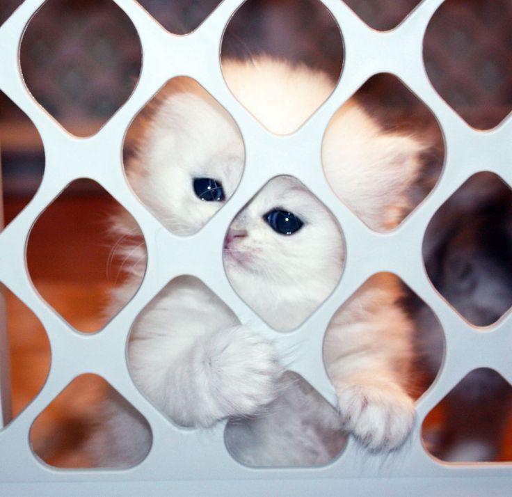 Persian Kittens Gallery