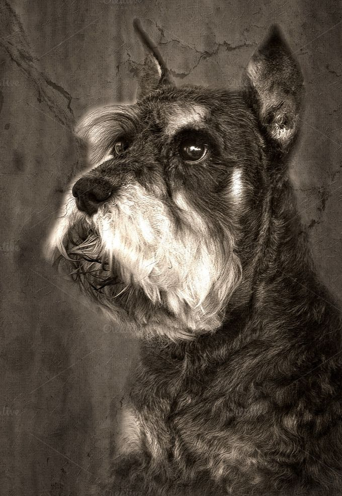 Schnauzer dog by huertas19 on @creativemarket