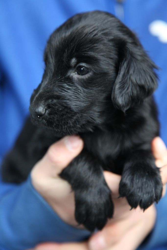 I officially want a flat coated retriever   ...........click here to find out more     http://googydog.com