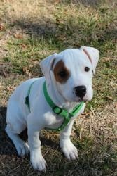 Petey is an #adoptable Pit Bull Terrier Dog in #Charlotte, #NCarolina. Petey is a 3-4 mos little boy. He is wonderful with all other animals and perfect with children. He loves to snuggle up and take naps with ...