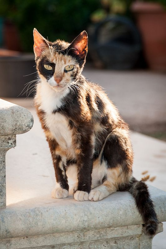 1000 Images About Calico Cats Gt