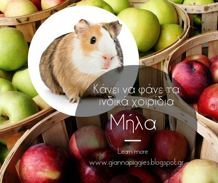 Can guinea pigs eat apples? Κάνει να φάνε τα ινδικά χοιρίδια μήλα? Learn more www.giannapiggies.blogspot.gr