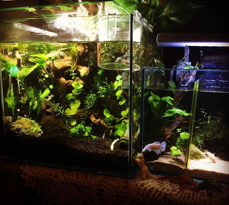 """""""今日は良い夢見れますように  #30c#水槽#水槽レイアウト#ごちゃごちゃ#ベタ#メスベタ#betta#bettafish#femalebetta#fishtank#watertank"""""""