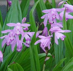 Betilla striata or Chinese ground orchid, also hyacinth orchid // Vijveraanleg de Lelie – Koivijvers, zwemvijvers, siervijvers en onderhoud aan bestaande vijvers