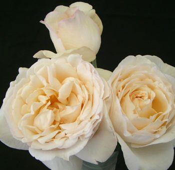 Cream Garden Rose 93 best bouquets images on pinterest | garden roses, bridal