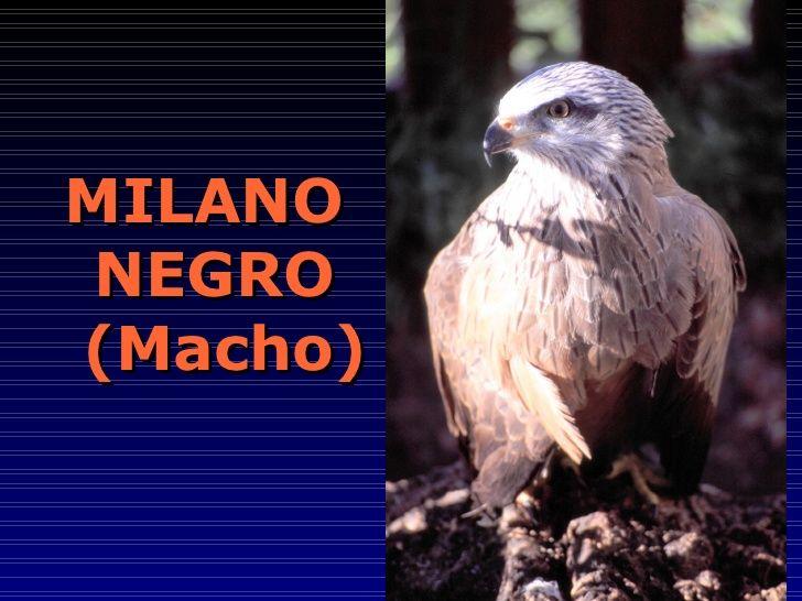 MILANO  NEGRO  (Macho)