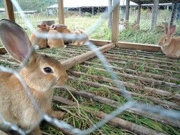 You raise your rabbits in this portable cage that is open to the ground and can be moved around so rabbits get fresh grass and weeds to eat.