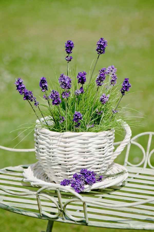 caring for lavender plants in pots - cute basket!