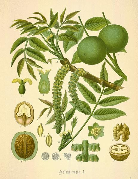 http://www.barefootherbalistmh.com/letters/attachments/File/Parasites.pdf    Black Walnut Tree  image from http://botanical.com/botanical/mgmh/w/walnut06-l.jpg