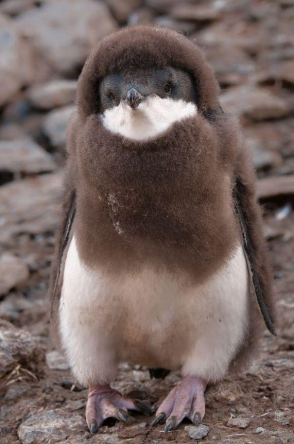 もふもふペンギン。