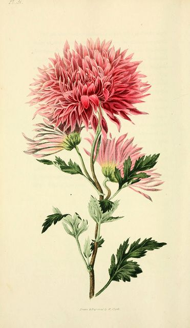 n215_w1150 by BioDivLibrary on Flickr. Flora conspicua London :Longman, Rees, Orme, Brown, and Green,1826. biodiversitylibrary.org/page/7372210