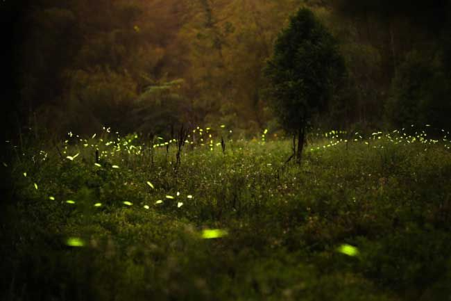 Fireflies :: Animal (Insect) of the Week - African Insight | Experiences That Make A Difference | Southern Africa