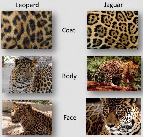 19 best wildlife 3 images on pinterest wildlife black jaguar difference between leopard and jaguar fandeluxe Ebook collections