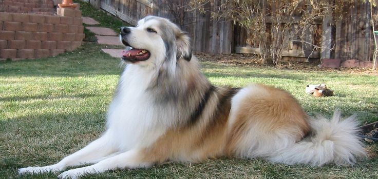 Great Pyrenees Husky mix pictures