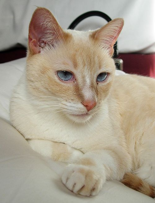Pictures of Colorpoint Shorthair Cat Breed