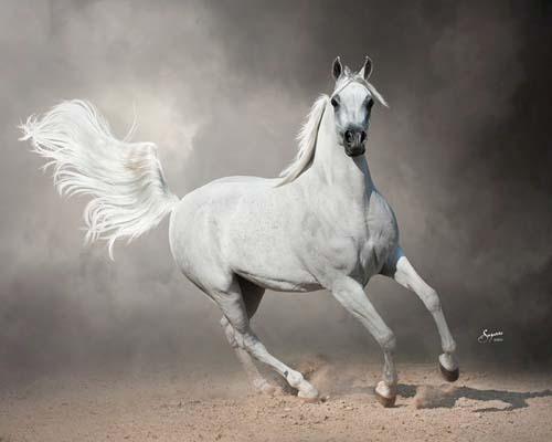 Arabhorse.com - Mackayne Arabians - Arabian Horse