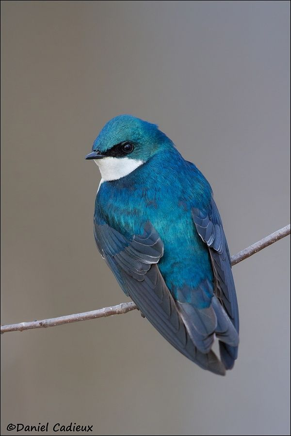 Tree Swallow (hirondelle) by Daniel Cadieux on 500px