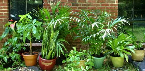 Read this article to find out which houseplants are poisonous and which are not, along with a printable list.