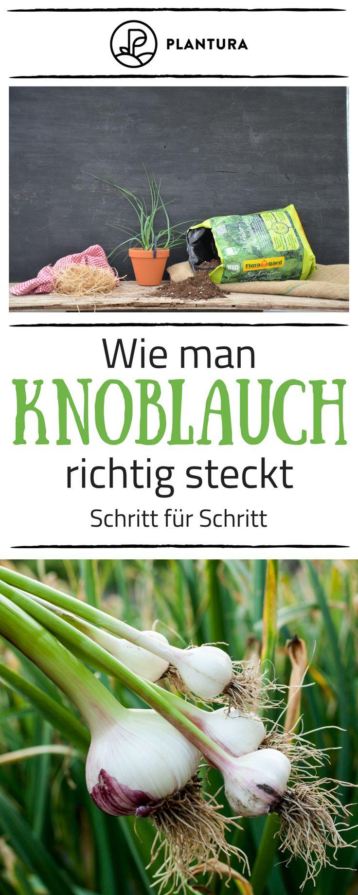 Knoblauch anbauen: Stecken, pflanzen und ernten – Plantura | Garten Ideen & Tipps | Gemüse, Obst, Kräuter