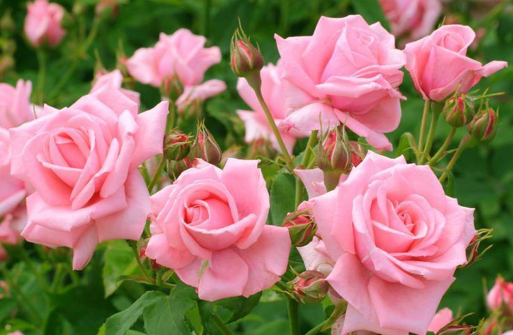 Как подкармливать розы - все виды удобрений