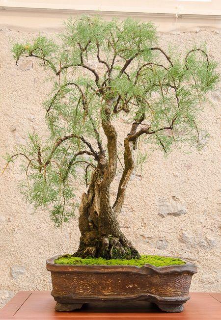 Les 1184 meilleures images du tableau Bonsai sur Pinterest ...