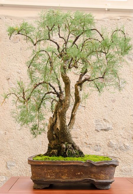 17 best ideas about bonsai baum on pinterest bonsai pflanzen ornamentbaum and japanische baum. Black Bedroom Furniture Sets. Home Design Ideas