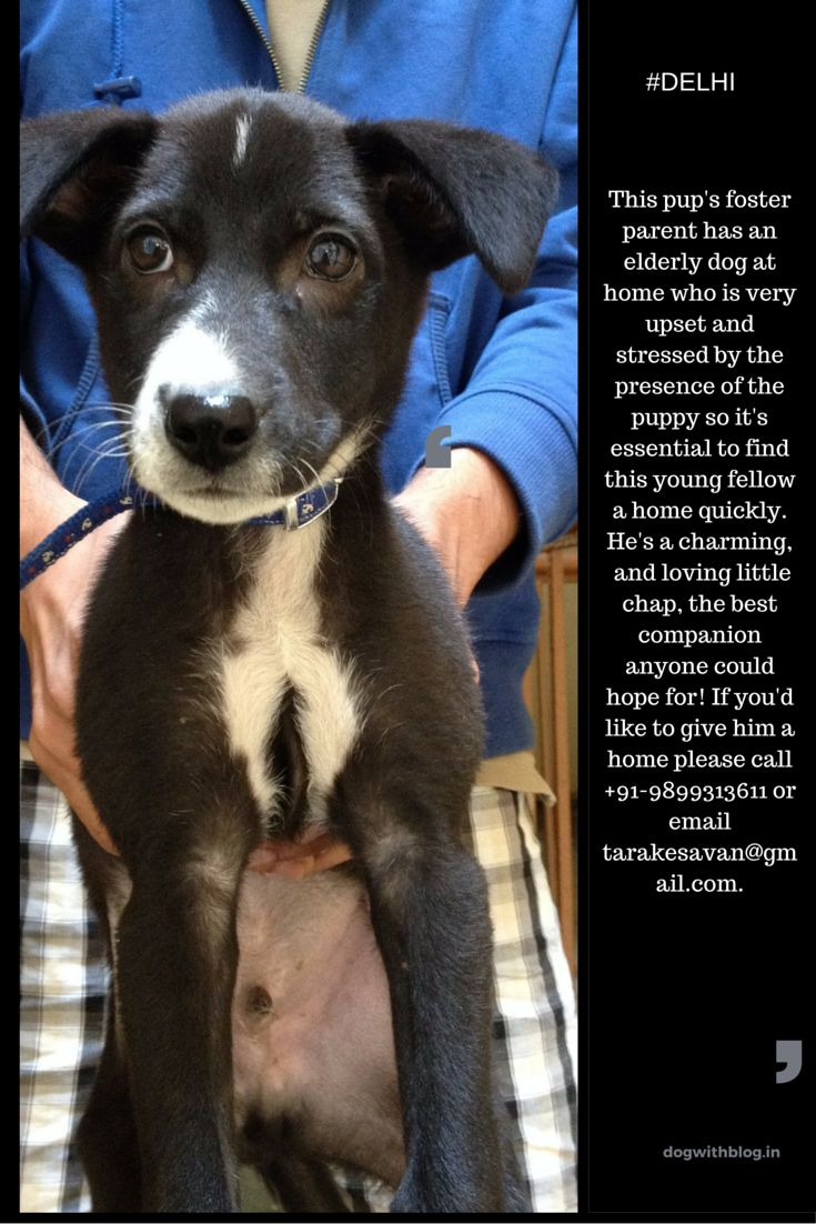 Adorable In puppy needs a home Delhi NCR dogwithblog