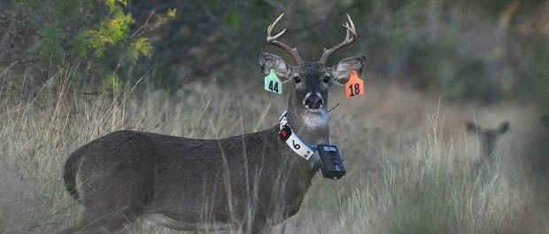 Stags will do anything to impress a mate! A white-tailed deer sports several devices used to capture contact rates among individuals to measure and understand disease transmission risks. Image Credit: Michael Lavelle, USDA Wildlife Services