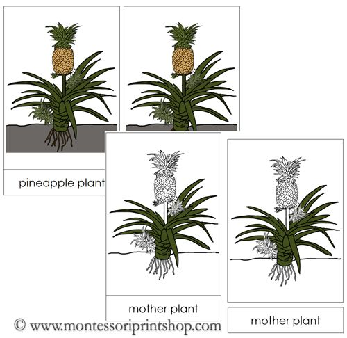 how to cut a pineapple from the plant