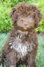 Lagotto...this dog is perfect!! Good with kids, hypoallergenic, smart, wants to please, loyal, easy to train...and darn cute!