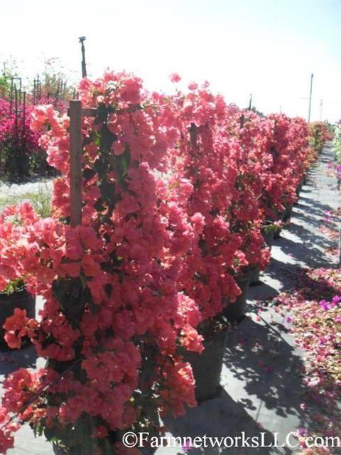 21 Best Images About Tmol On Pinterest Hedges Jasmine
