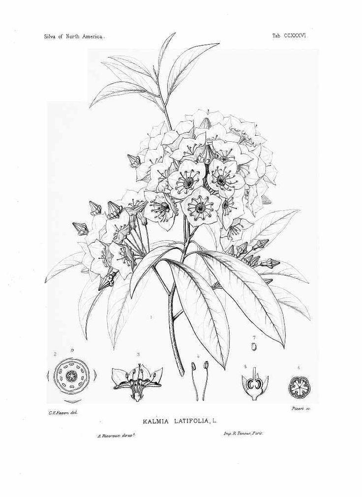 mountain laurel botanical drawing   tattoo   Pinterest ...