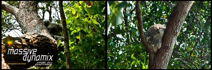 Koala in a tree in the Noosa National Park