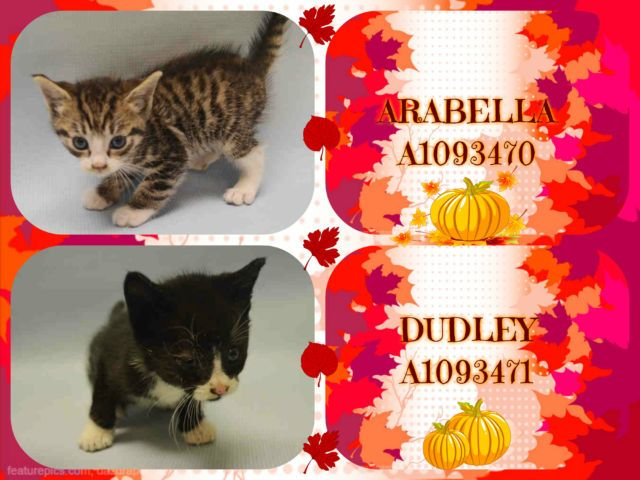 ARABELLA - A1093470  AND DUDLEY - A1093471 - - Manhattan  ***TO BE DESTROYED 10/19/16*** DUDLEY AND FRED ARE TWO KITTENS FOUND IN A YARD WITH OTHER SIBLINGS AND BROUGHT TO THE ACC! Someone who feeds a lot of stray cats in the neighborhood decided that they would bring the kittens to the shelter. Whether or not they felt they would find homes via the ACC is another story. But sadly DUDLEY and sibling ARABELLA who is not listed tonight, and FRED and sibling GEORGE who is also