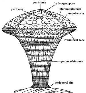 Virtual museum - Edrioasteroidea (Edrioasteroids)