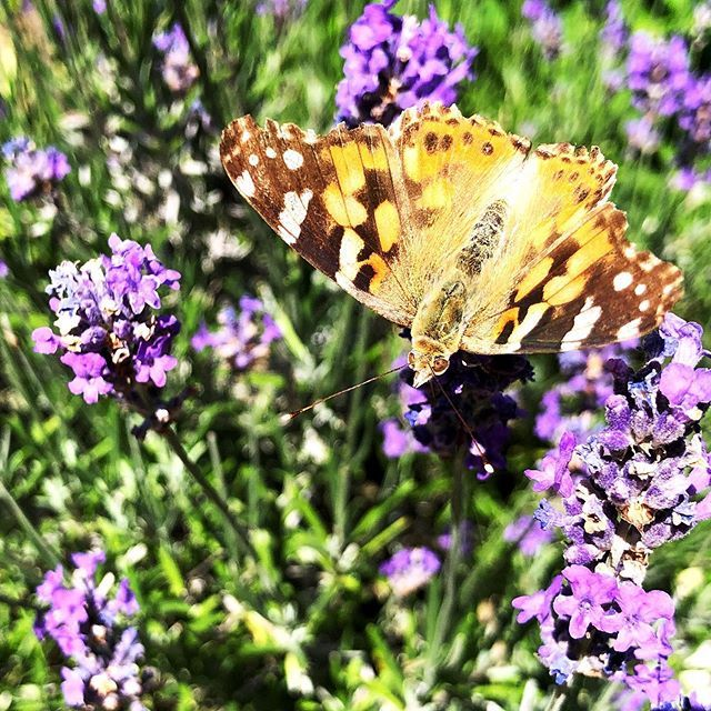 Schmetterling Und Echterlavendel Im Botanischengarten In Munster Garten Pflanzen Gartentechnik Animals Insects
