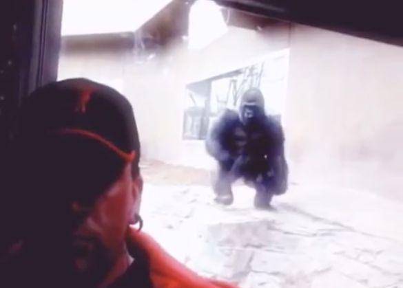 Captado En Video Gorila Killao Le Intenta Volar Arriba A Hombre Que Se Tiraba Un Selfie