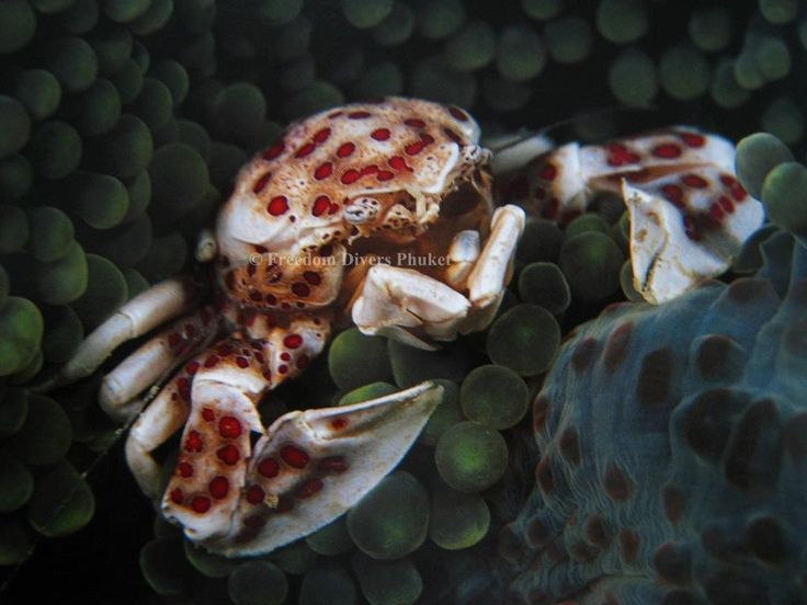Anemone Crab: Scuba diving in paradise - Similan & Surin Islands, Freedom Divers Phuket http://freedom-divers.com