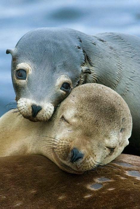 A Seal Pair                                           #animals #lolanimals #cuteanimals