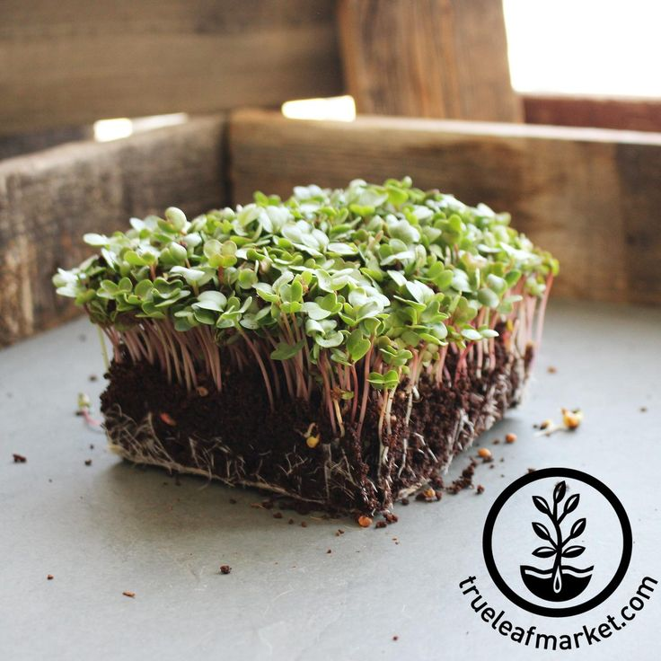Discover China Rose Radish seeds at Mountain Valley Seed. Browse through our selection of sprouting seeds.