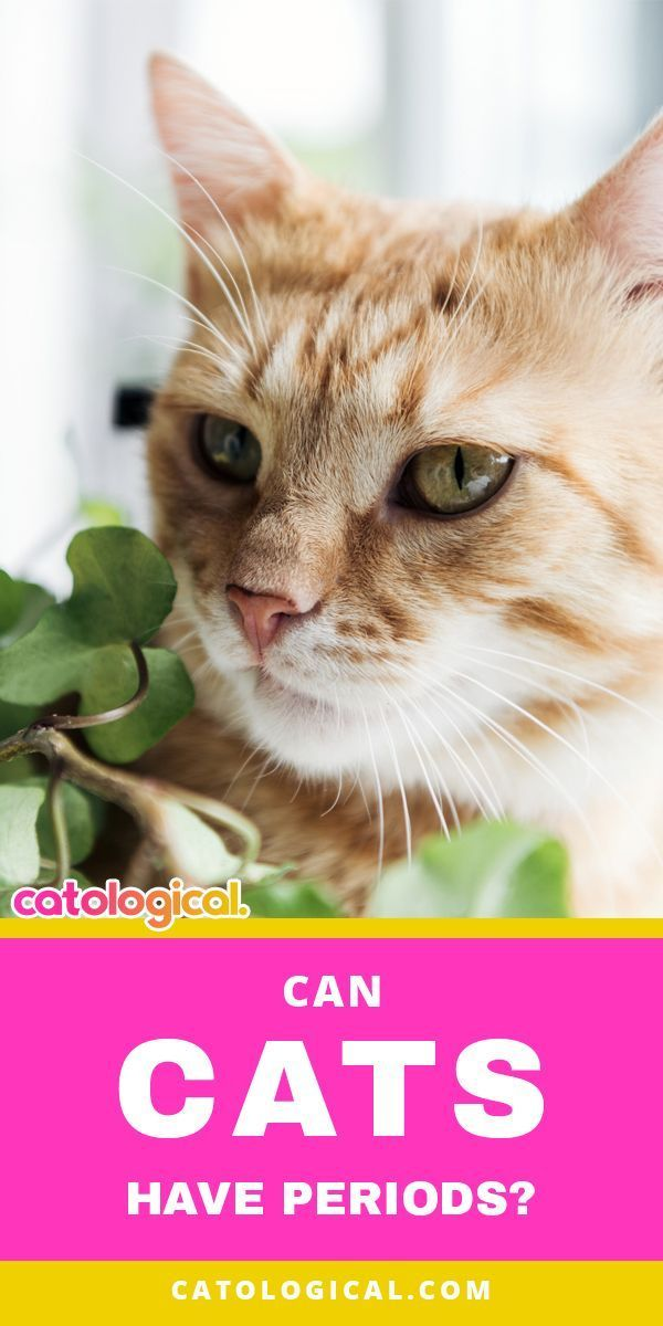 Do Female Cats Have Periods Bleed During A Menstrual Cycle Cat Parenting Cats Funny Cat Videos
