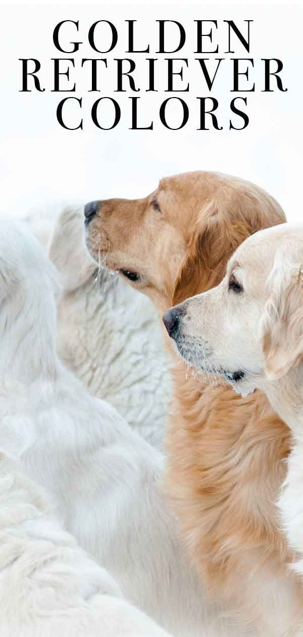 Golden Retriever Colors The Many Gorgeous Shades Of Gold Colores