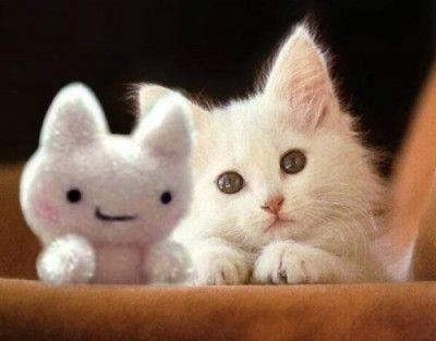 gato angora blanco compra