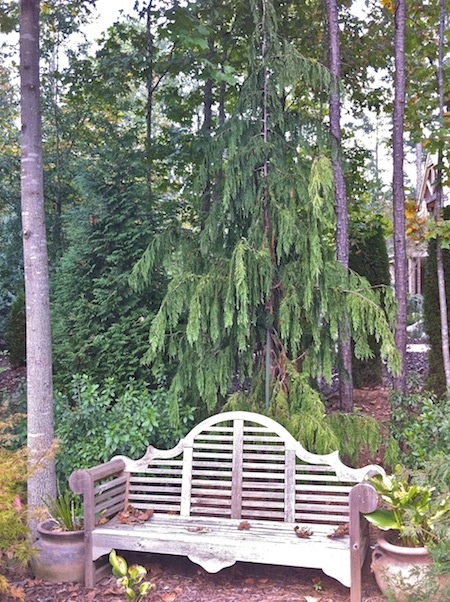 One of my favorite conifers: Alaskan Weeping Cedar. We brought this one in from Oregon, but they work well here in Zone 7B.