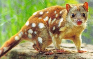 The tiger quoll (Dasyurus maculatus), also known as the spotted-tail quoll, the spotted quoll, the spotted-tailed dasyure or (erroneously) the tiger cat, is a carnivorous marsupial native to eastern Australia. They live in a variety of habitats but seem to prefer wet forests such as rainforests and closed eucalypt forests.