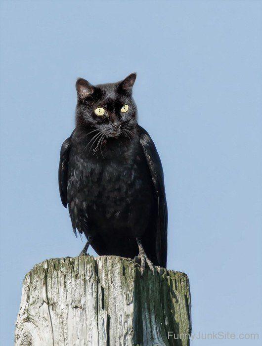 Cat Crow